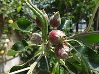 リンゴの小さな実