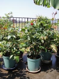 Rose ORIの開花
