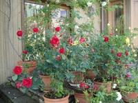 Rose ORIに囲まれるオリガーデン