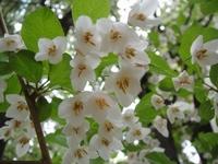 エゴの白い花