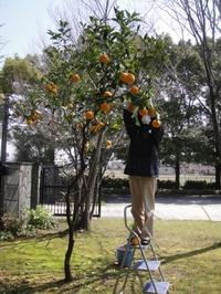 夏みかんの大収穫