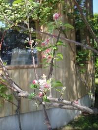 かわいいリンゴの花