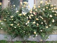 つるバラのRoseORIが開花!