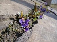 紫色のかわいいスミレ