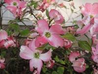 咲き誇るハナミズキ