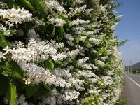 圧巻のプリペットの花