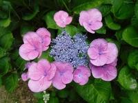 梅雨の風物詩!アジサイの開花