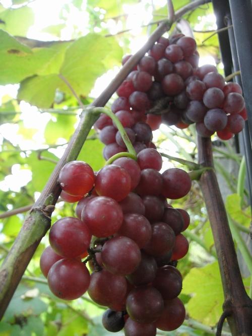 grape_150907_2.JPG