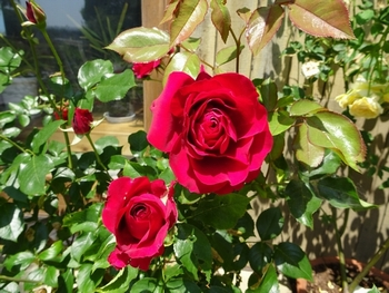 20170522_Rose_2.JPG