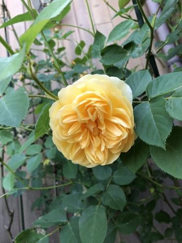 20180509_Rose_5.jpg