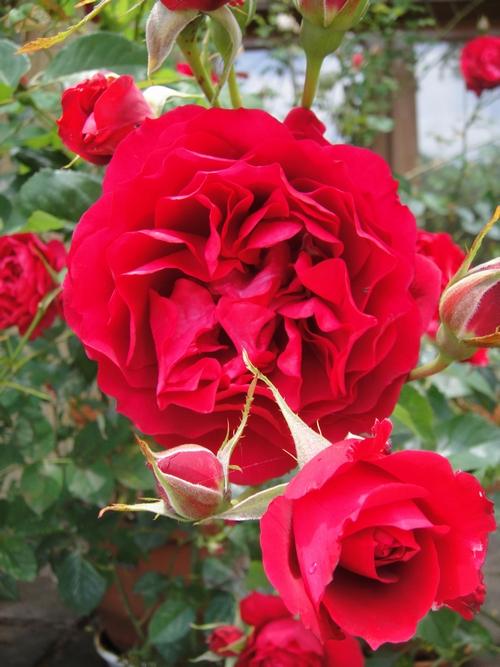 Rose ORIに囲まれるオリガーデン1