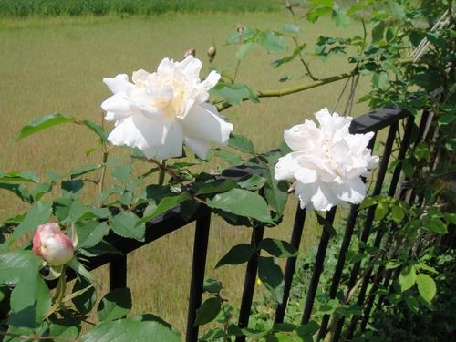 rose_150427_1.JPG