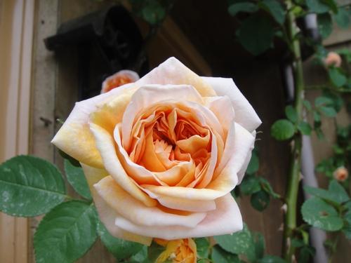 rose_150507_2.JPG