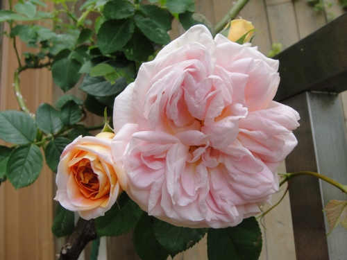 rose_150507_3.JPG