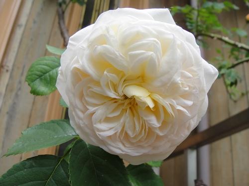rose_150507_4.JPG