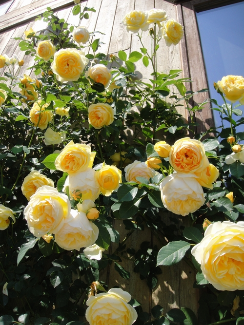 rose_150513_1.JPG