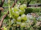 ブドウの大収穫